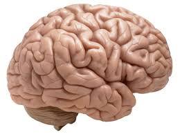 دانلود تحقیق مغر انسان   تحقیق  مغز انسان  مغز سیستم عصبی
